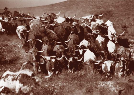 Old-cattle-herd