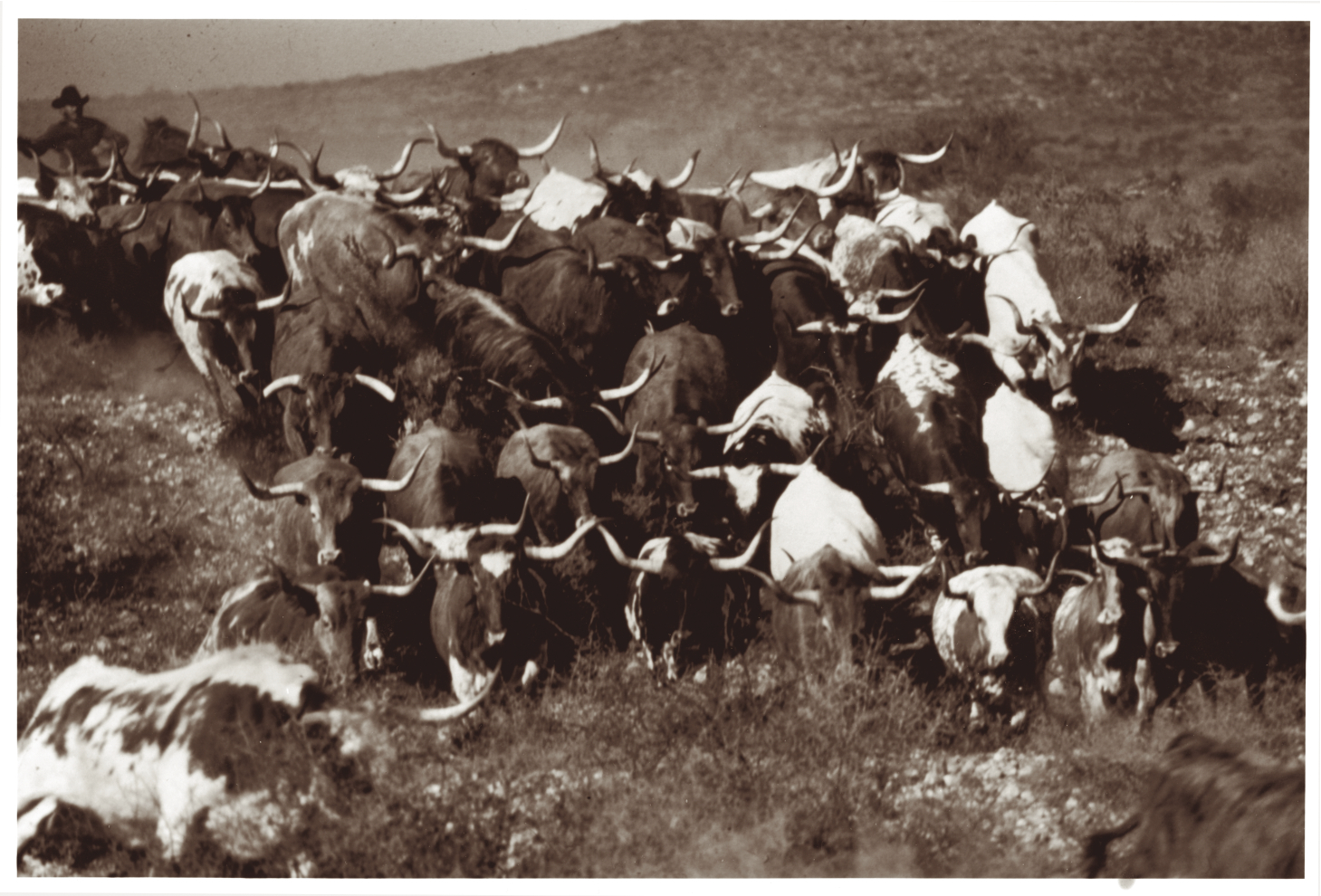 Old Herd Photo TLBAA Archives